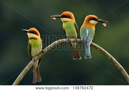 Three Of  Chestnut-headed Bee-eater (merops Leschenaulti) The Beautiful Orange Head, Green Body And