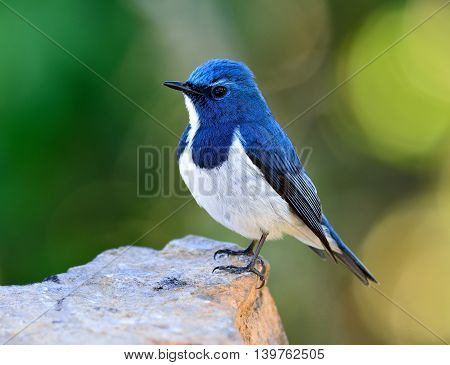 Ultramarine Flycatcher Or White-browed Blue Flycatcher (ficedula Superciliaris) Beautiful Little Blu