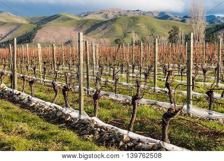 pruned grapevine in vineyard in late autumn