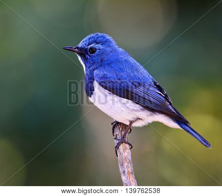 Ultramarine Flycatcher Or White-browed Blue Flycatcher (ficedula Superciliaris) The Beautiful Blue B
