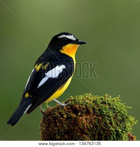 Yellow-rumped Flycatcher Or Korean Flycatcher (ficedula Zanthopygia) Beautiful Yellow Bird Perching
