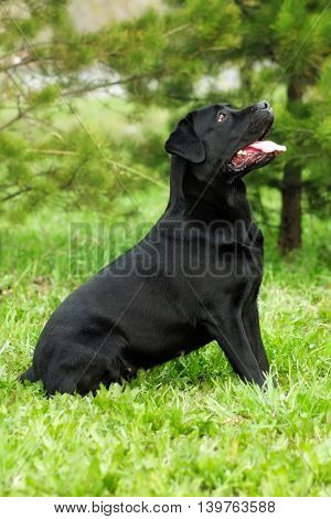 black beautiful dog breed Labrador Retriever sits in the summer in nature and looking up at the host and executes the command to sit