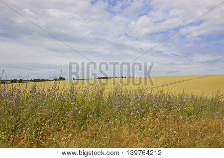 golden barley fields in the yorkshire wolds with a foreground of chicory flowers under a blue sky in summer