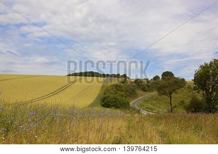 a small rural road winding through agricultural landscapes with golden wheat and a strip of chicory flowers in the yorkshire wolds