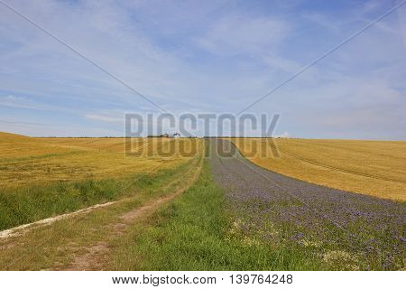 a farm track leading up a hill to a disused farm with golden barley crops and phacelia flowers under a blue sky in summer