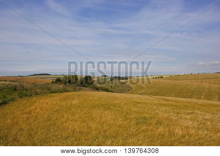 picturesque agricultural landscape with golden ripening barley in the yorkshire wolds under a blue cloudy sky