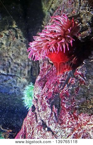 Underwater photograph of red actinia waving with her tentacles in the Lisbon Oceanarium, Portugal. Actinia equina. Sea anemone.