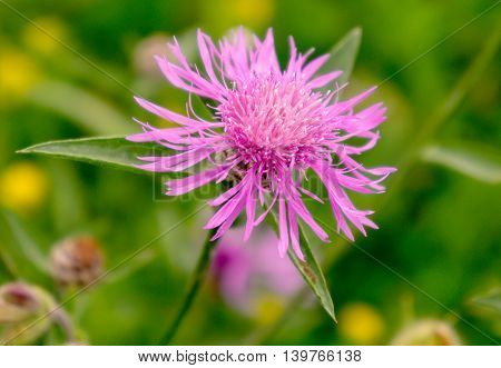 one saw-wort flower close-up on the field in summer, pink, fluffy