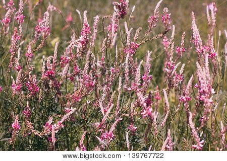 Background in form of blooming field, pink sage flowers backdrop in countryside. Wild nature in spring