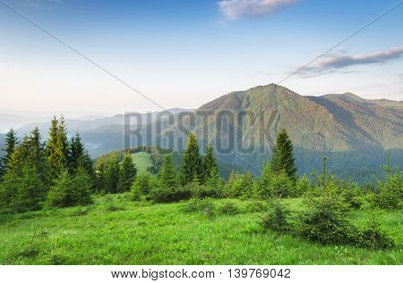 Summer landscape on a sunny morning. Spruce forest in the mountains. Green grass in the meadow. Beauty in nature