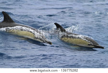 Two common doplhins jumping and splashing near Azores