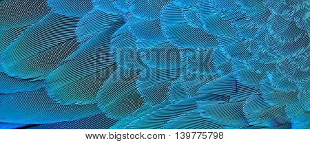 Exotic horizontal texture of Blue and Gold Macaw bird's feathers the beautiful blue and yellow background