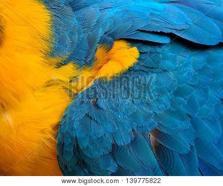 Exotic texture of Blue and Gold Macaw bird's feathers the beautiful blue and yellow background