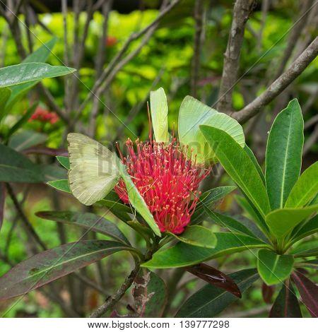 The Lemon Emigrant butterfly on red flower