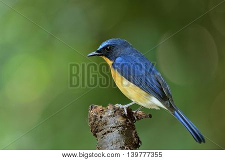 Hill Blue Flycatcher (cyornis Banyumas) Standing On The Wooden Log With Green Blur Background, Happy