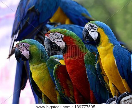 Lovely Macaw Birds Sitting Together, Buffon's, Harliquin And Blue-and-gold Macaw Parrot Birds