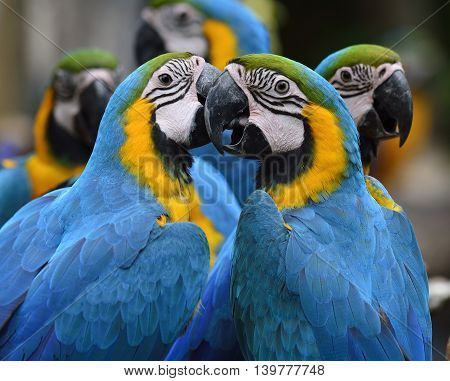 Lovely Blue-and-yellow Macaw Parrot Birds (ara Ararauna) Known As The Blue-and-gold Macaw Sitting To