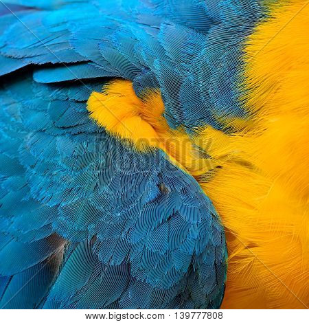 Magnificent texture of Blue and Gold Macaw bird's feathers the beautiful blue and yellow background