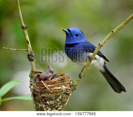 Male of Black-naped monarch or black-naped blue flycatcher (Hypothymis azurea) the colorful blue bird perching on the stick guarding its sleep chicks in the nest with nice blur background the magnificentl blue bird