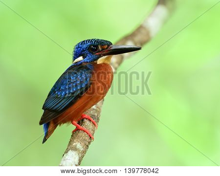 Male Of Blue-eared Kingfisher (alcedo Meninting) Perching On The Branch Near By His Nest Hole, The B