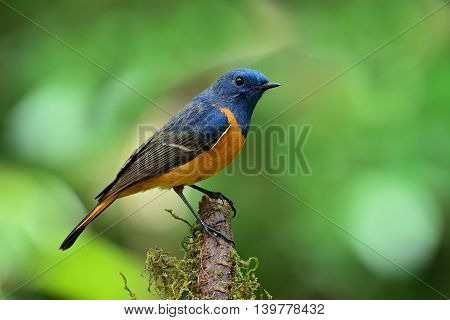 Male Of Blue-fronted Redstart (phoenicurus Frontalis) The Colorful Blue Bird With Orange Belly Perch