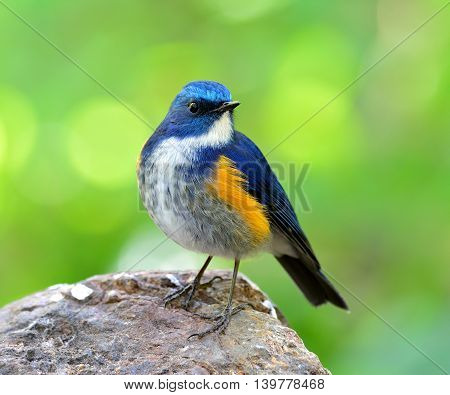 Male Of Himalayan Bluetail (tarsiger Rufilatus) The Beautiful And Chubby Blue Bird Perching On The R