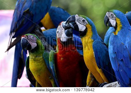 The Sweet Kissing Moment Of Blue-and-gold With Harliquin Macaw Birds Among Group Of Others Macaw Par