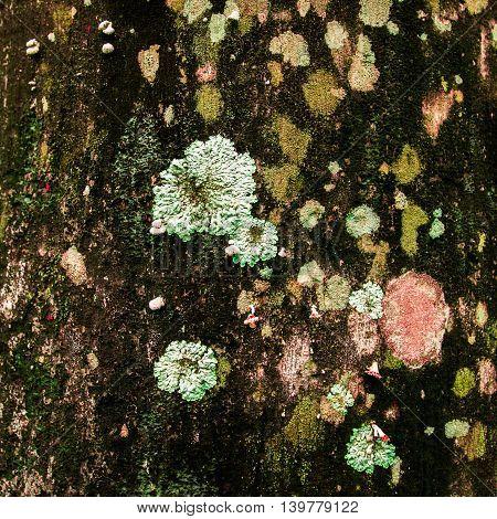 Lichen xanthoria parietina on the bark of dead tree trunk - square.