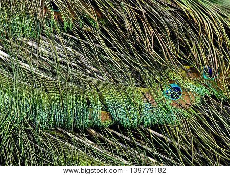 Velvet Green On Green Peafowl Or Indian Peacock Tail Feathers, The Colorful Texture Of Bird Feathers