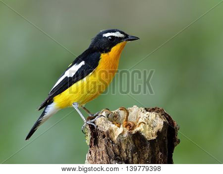 Yellow-rumped Flycatcher (ficedula Zanthopygia) The Beautiful Yellow Bird Perching On The Wooden Wor