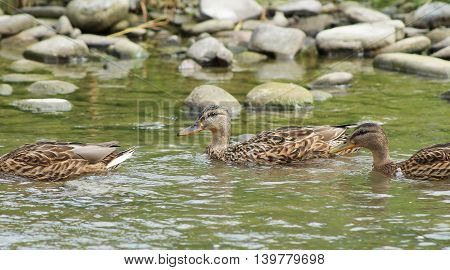 group of almost adult ducklings swimming in the shallow river
