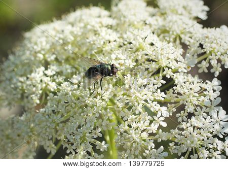 close photo of a fly sitting on the white blooms of ground elder (Aegopodium podagraria)