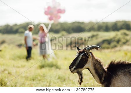 Brown Rustic Goat In The Pasture.