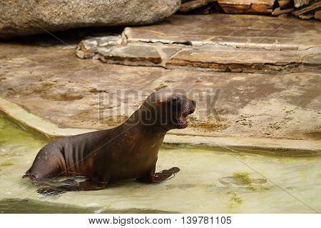 Roar of South American Sealion (Otaria byronia)