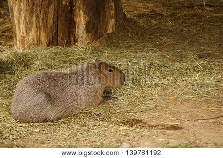 Capybara ( Hydrochaeris hydrochaeris ) lying down