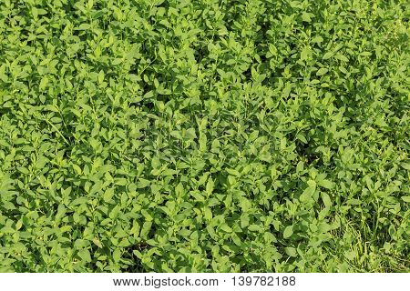 Texture of green grass with large leaves