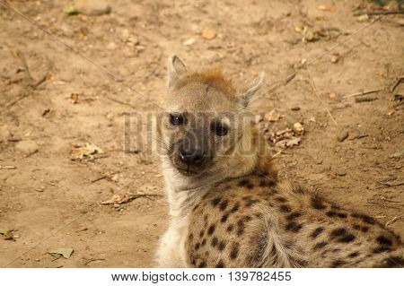Detail of lying spotted hyena (Crocuta crocuta)