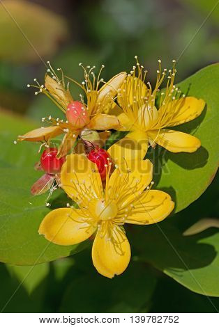 Tutsan Blossoms - Hypericum Androsaemum