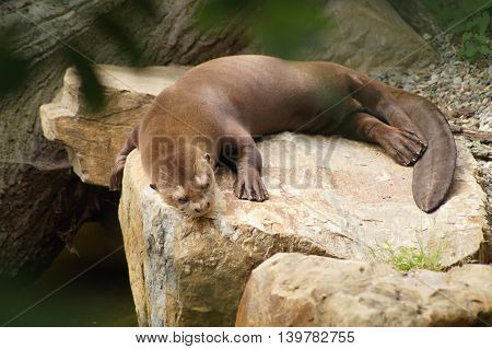 Giant otter lying on a rock and sleep