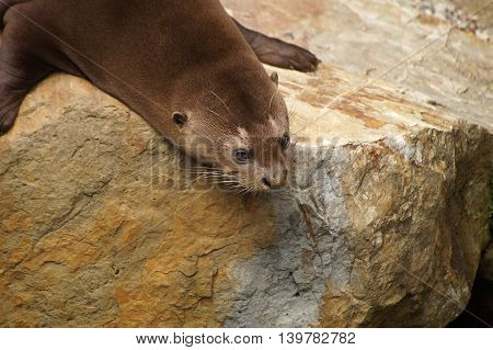 Giant otter lying on a rock and looking into water