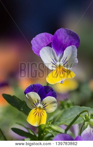 Pansy Flowers, Viola Tricolor Hortensis