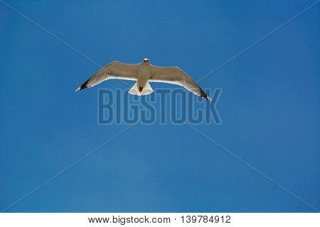 Sea gull in flight on a blue high sky