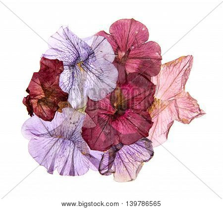 application of dried pressed colorful petunias osibana