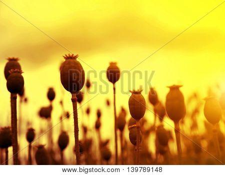 Dry poppy field before harvest at sunset.