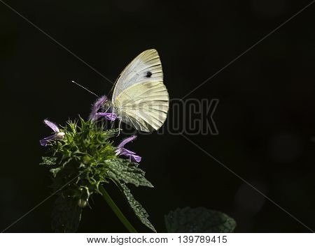 cabbage white butterfly on a flower of Salvia on a dark background