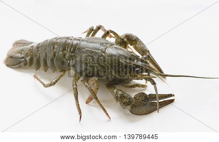 arthropods crustaceans cancer    the view from the back