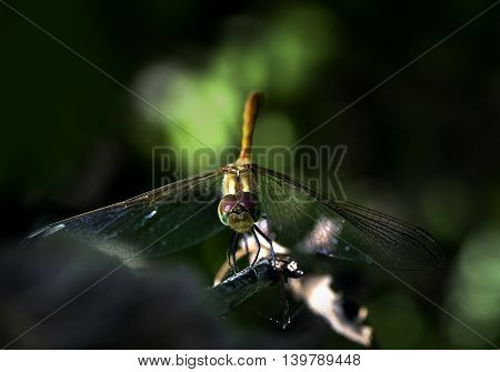 Dragonfly perched on the end of a   branch on a dark background