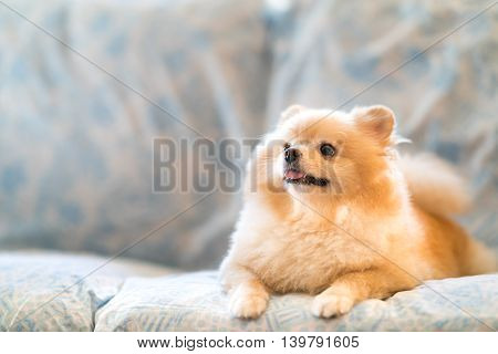 Cute pomeranian dog smiling on the sofa looking upward to copy space