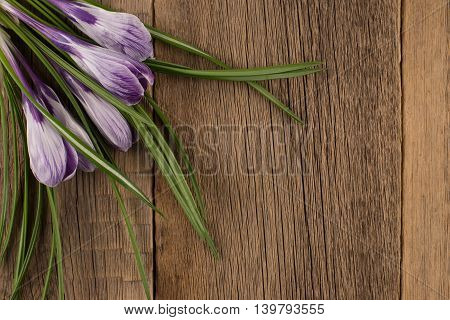Spring crocus on wooden background.Spring crocus on wooden background