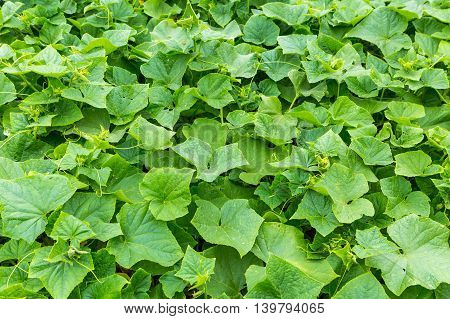 Close Up Of Cucumber Leaves Growing In Garden